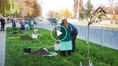 У Борисполі продовжують озеленювати вулицю Головатого. Відео