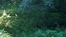 Безвісти зниклого бориспільця знайшли повішеним у лісосмузі. Відео