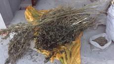 5 кілограмів наркотичного урожаю на суму 200 тисяч гривень вилучили у жителя Борисполя. Фото