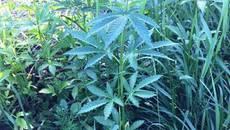 35-річний «наркоаграрій» ретельно доглядав за плантацією марихуани на Бориспільщині. Фото